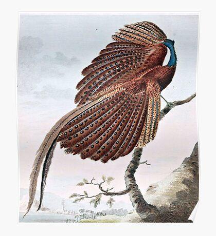 Argus Pheasant Bird Painting Poster