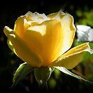 Little Rose by ElsT