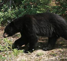 black bear by David M. Bull