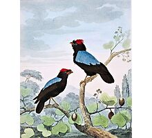 Blue-Backed Manakin Bird Art Photographic Print