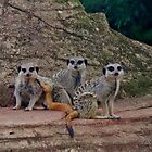 Meerkats - Here's Looking At You Too! by lezvee