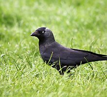Jackdaw in the grass by GreyFeatherPhot