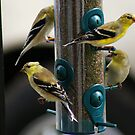 Gold Finches are back!!! Must be Springtime!! by Ruth Lambert