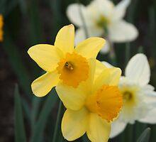 Daffodil by Bruce McEntyre