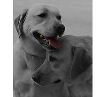Labrador Retrievers Photographic Print