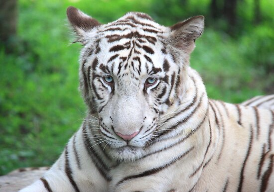 The Royal Look of a White Tiger by Indrani Ghose