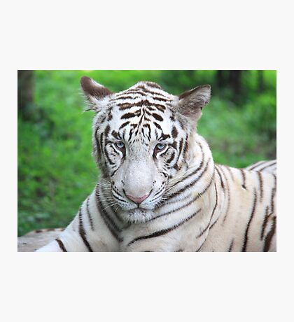 The Royal Look of a White Tiger Photographic Print