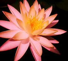 WATER LILY by Terra 'Sunshine' Gilbert