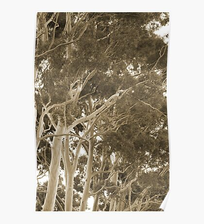 Kings Park Trees Poster