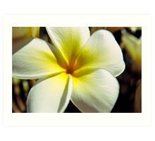 Plumeria Bloom Art Print
