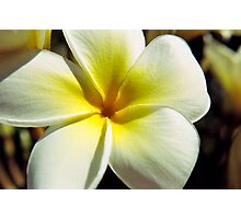 Plumeria Bloom Photographic Print