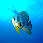Batfish Christmas Island by Sean Elliott