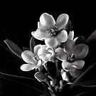 Indian Hawthorn in Black and White by Endre