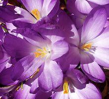 Purple Crocus by raneangel
