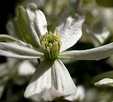 Spring Clematis by raneangel