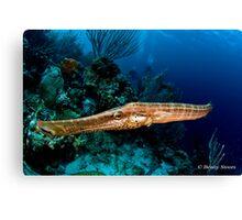 Trumpetfish  (Aulostomus maculatus) Canvas Print