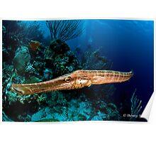 Trumpetfish  (Aulostomus maculatus) Poster