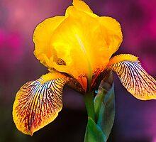 Yellow Iris by LudaNayvelt