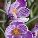 Spring has arrived - purple crocus by Sandra O'Connor