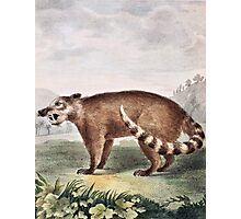 Coati Mondi Vintage Illustration Photographic Print