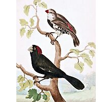 Crimson Crested and Spotted Sided Grosbeaks Photographic Print