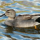 Male Gadwall by Robert Abraham
