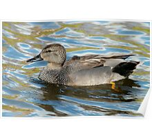 Male Gadwall Poster