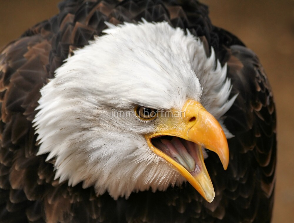 Bald eagle by jimmy hoffman