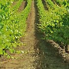 Groot Constantia Vineyard by Ryan  Broderick