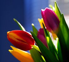 Arrangement of Tulips near window by buttonpresser