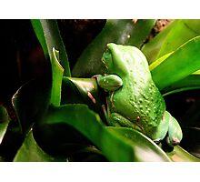 Waxy Monkey Frog Photographic Print