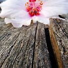 Hibiscus on wooden bench by fourthangel