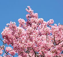 Cherry Blossoms by ibphotos