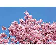 Cherry Blossoms Photographic Print