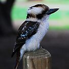 The Laughing Kookaburra by KeepsakesPhotography Michael Rowley
