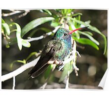 Broad-billed Hummingbird ~ Male II Poster