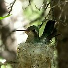 Broad-billed Hummingbird ~ Nesting Female by Kimberly P-Chadwick