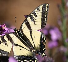 Western Tiger Swallowtail butterfly by Aggiegirl