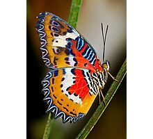Multicoloured Malay Lacewing Butterfly Photographic Print