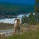 Big Horn Ram by Bryan D. Spellman