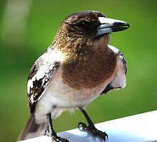 inquisitive butcher bird by kurtbrunke