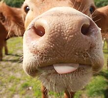 Cheeky Cow! by Sandy Sutherland