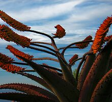 Late afternoon Agave in Encinitas by Gary Lange
