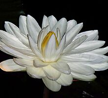 White Water Lily by schiabor