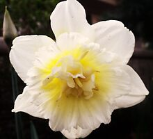 Mellow Yellow Daffodil  by Cmarcotte
