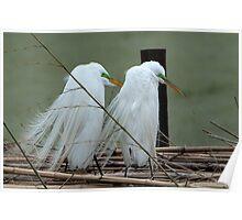 Avery Island Egrets--Marital Bliss Poster