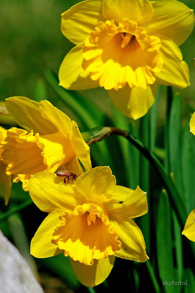 Honey Bee And Daffodils by kkphoto1