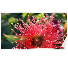 Flowering Gum flower Poster