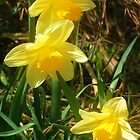 Baby Daffs by RC deWinter