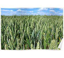 Grain Field - Marholm, Cambridgeshire Poster